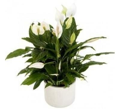 Spathiphyllum incl. bijpassende pot