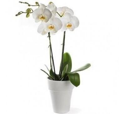 Orchidee inclusief pot